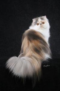 foto kucing persia